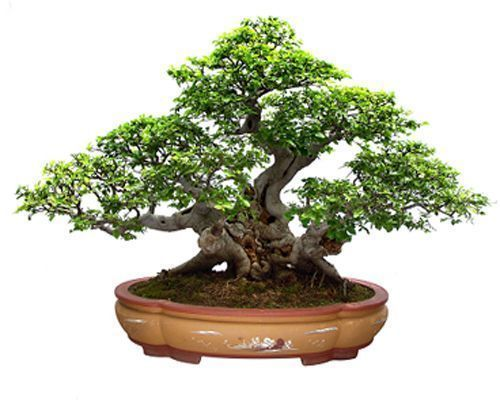 El bonsai decoracion de interiores - Bonsais de interior ...
